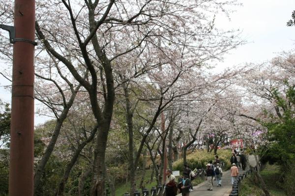 衣笠山桜.jpg